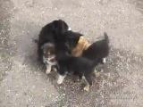 Злые собаки напали на кота!