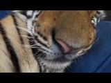 Свой настоящий домашний Бенгальский тигр